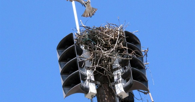 New Jersey fire siren silenced by osprey nest