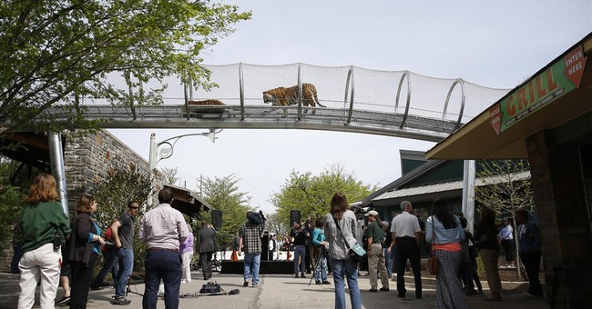 Philadelphia Zoo lets tigers stretch legs on trail
