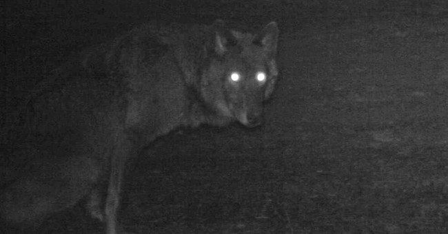 Wandering Oregon wolf may have found a mate