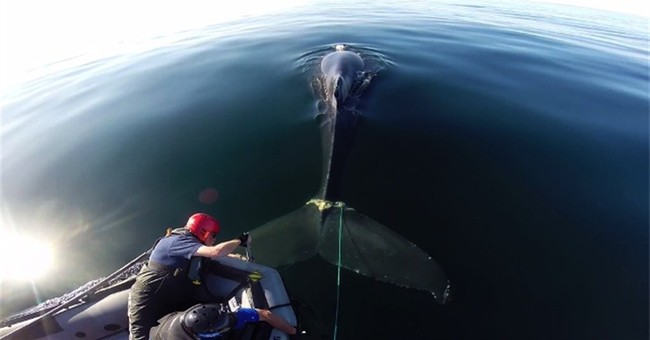 Crews free entangled whale off California coast