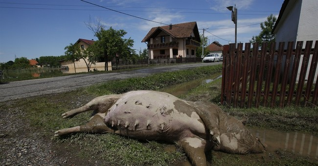 Tons of drowned livestock a new Balkan threat