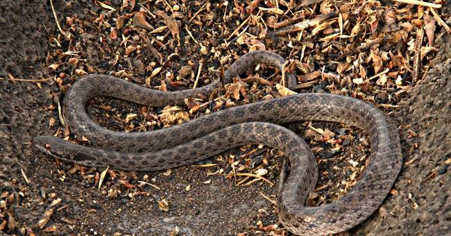 'Lost' snake species found on Mexican island