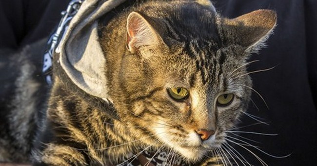 Hero cat 'throws' first pitch at baseball game