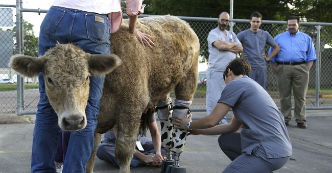 Rescued calf gets new high-tech prosthetics
