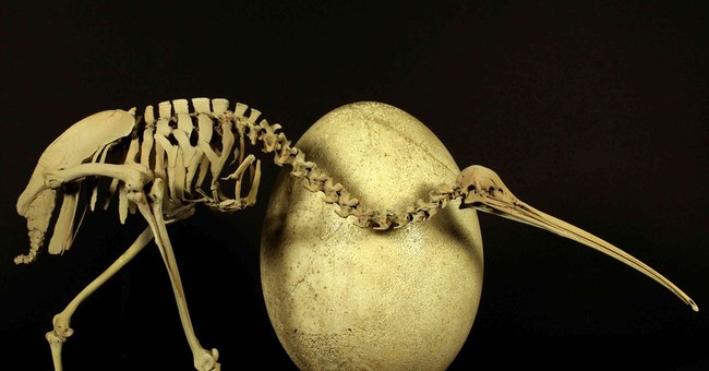 Kiwi DNA link spurs rethink of flightless birds