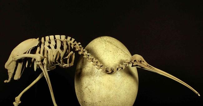 Kiwi DNA link spurs rethink of flightless birds