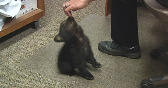 Adorable bear cub charms police in Oregon