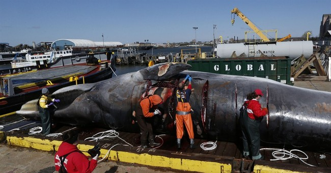 More whales being hit by ships along East Coast