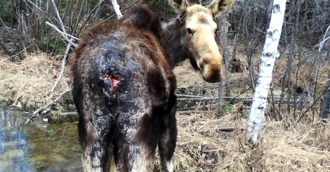 Wounded wildlife pose dilemmas for intervention