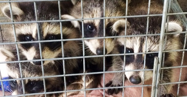 Surprise delivery _ baby raccoons _ at NY agency