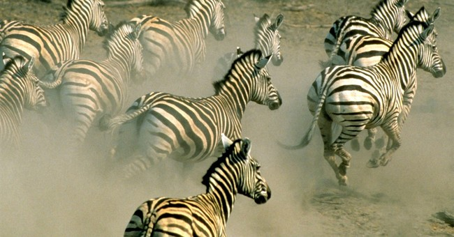 Zebras make longest trek in Africa, research says