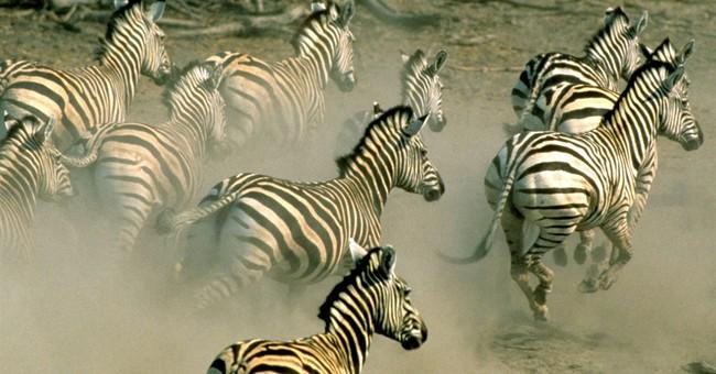 Zebras make longest trek in Africa, research says
