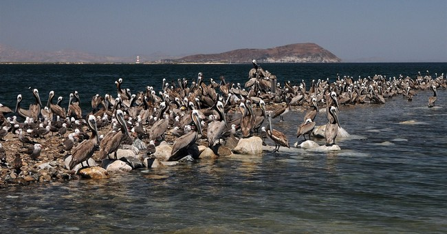 Calif. brown pelican breeding population plunges