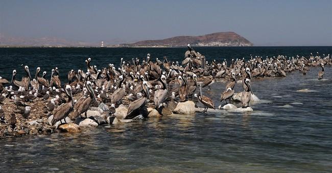 Calif. brown pelican breeding population plunges