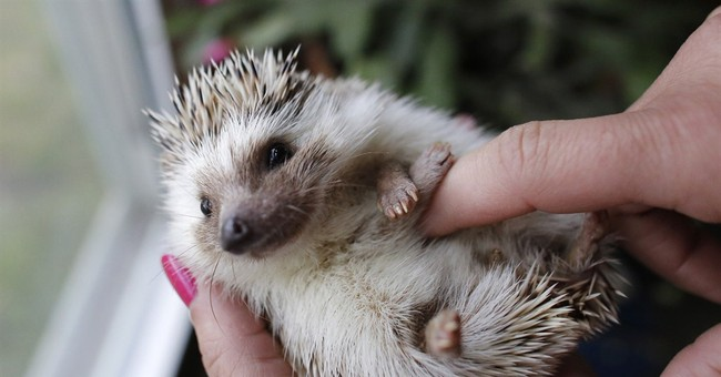 What you need to know about pet hedgehogs
