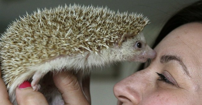 Cute and prickly: Hedgehogs finding homes as pets
