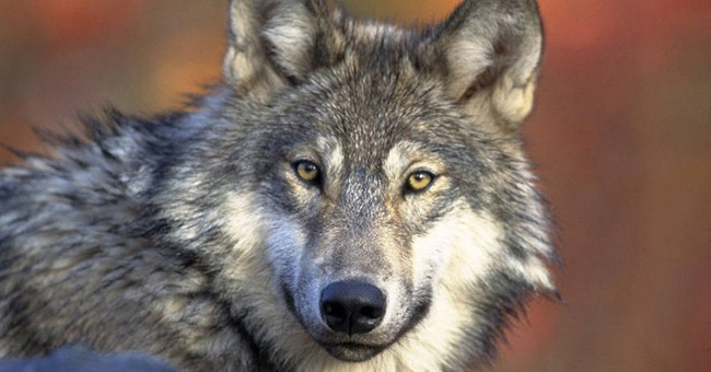 State board votes to protect California wolf