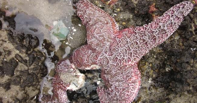 Sea star disease growing on Oregon Coast