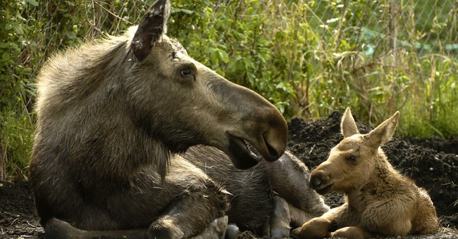 Alaska biologists: Baby moose are not pets