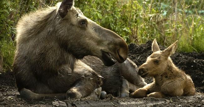 Alaska biologists: Baby moose are not pets