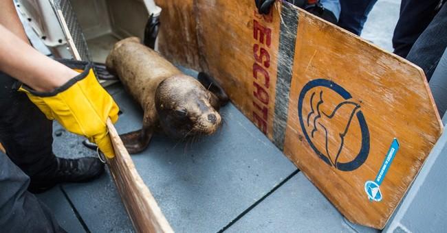 Injured sea lion set free off Peruvian coast