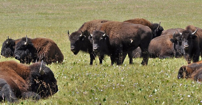 Senator pushes plan to manage Grand Canyon bison