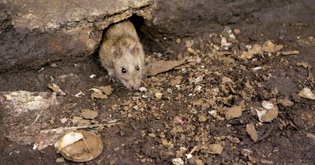 Rodents winning NY rat race, but humans fight back