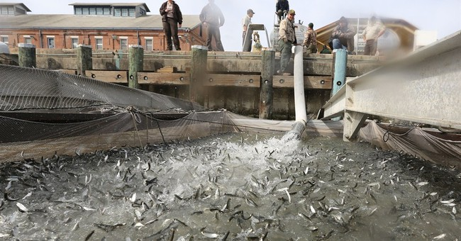 Salmon migrate by truck during California drought