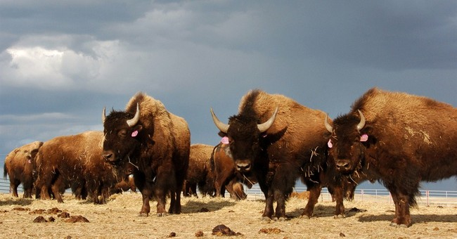 5 entities in the running to get Yellowstone bison