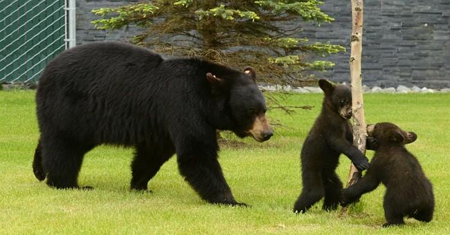 Alaska black bear, cubs steal kids' lunch boxes