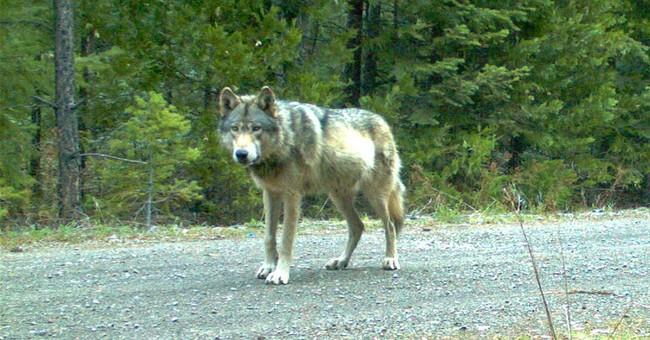 Suit: Logging threatens wandering wolf's den, pups