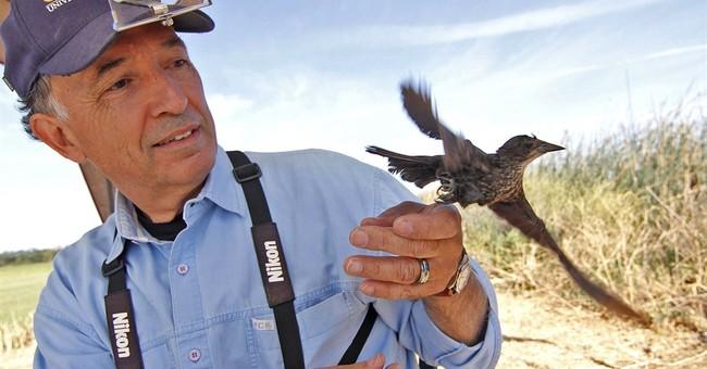 Study finds blackbird decline in California