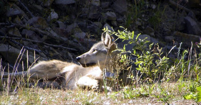 Conservationists seek nonlethal wolf controls