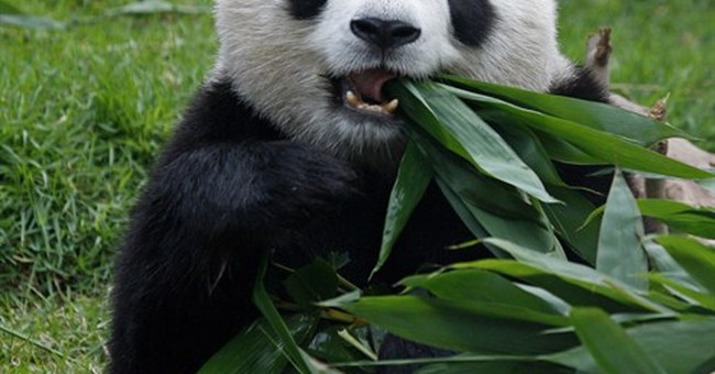 Macau female panda Xin Xin dies of kidney failure
