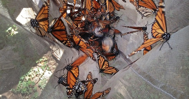 Monarch butterflies may have magnetic compass