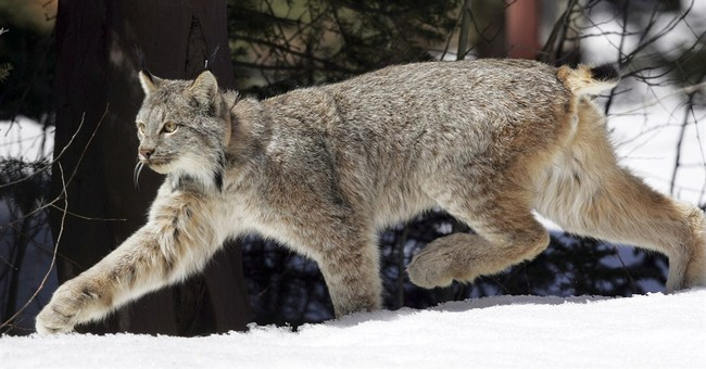 Court asked to speed up Canada lynx recovery plan
