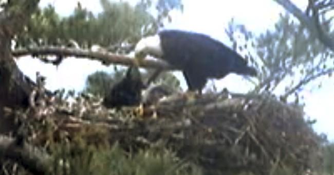 Viewers frustrated as baby eagle dies on webcam