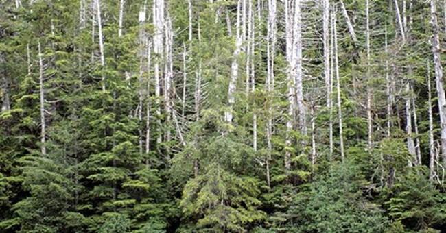 Groups seek protection of iconic Alaska tree
