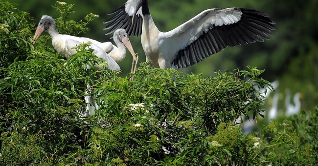 US declares wood storks no longer endangered