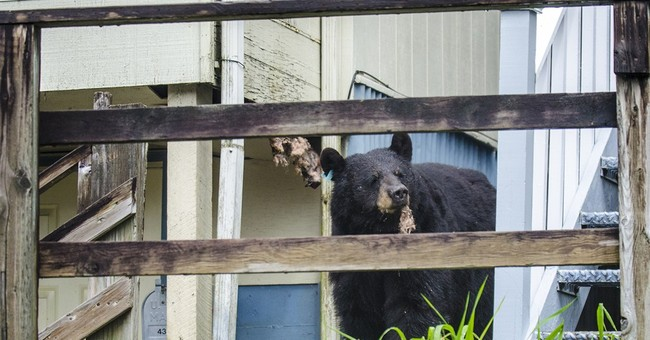Black bear digs through insulation to get honey