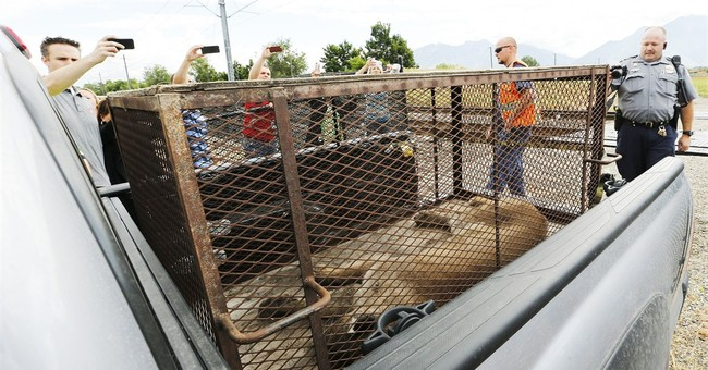 Mountain lion captured at shopping center dies