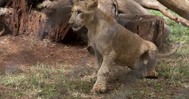 UN chief 'adopts' lion cub in Kenya