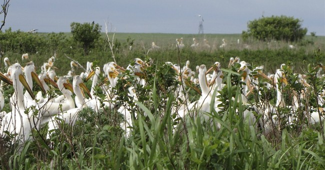 Pelicans' northerly nesting grounds shrinking
