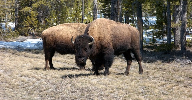 Feds consider sending bison to Grand Canyon, Iowa