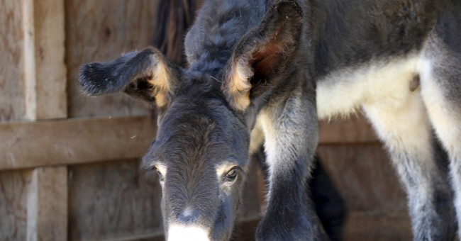 Rare Poitou donkey born in Massachusetts