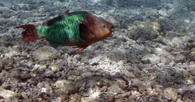 Study: Carib reefs need parrotfish, sea urchins
