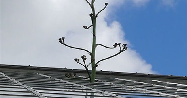 Agave plant to produce 1 and only bloom, then die