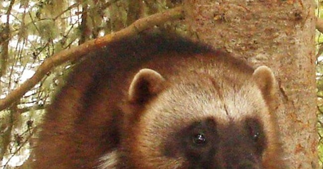 Feds doubt climate change's impact on wolverines