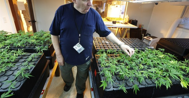 AP PHOTOS: How marijuana goes from garden to store