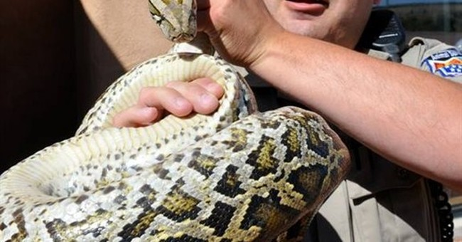 Driver of stalled pickup finds slithering surprise